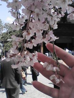 京の桜(その1)